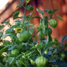 tomatillo-garden