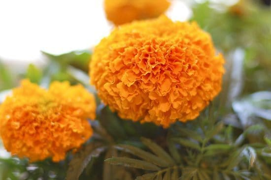 marigold flowers to celebrate from Day of the Dead Altar Elements