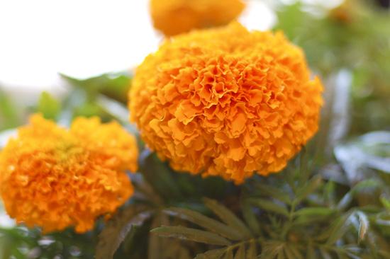 día de los muertos day of the dead celebration and marigold muerte
