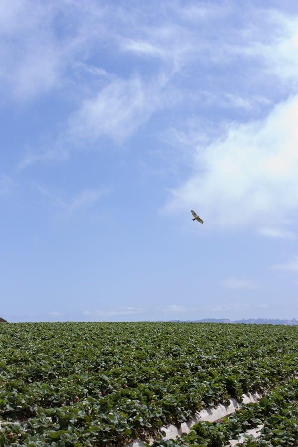 strawberry-fields-2