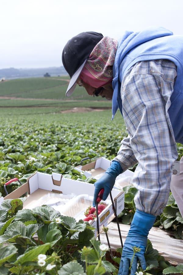 strawberry_field_worker-man