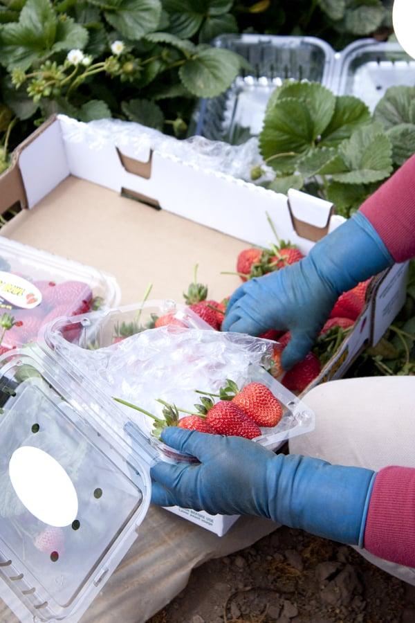 strawberry_field_worker