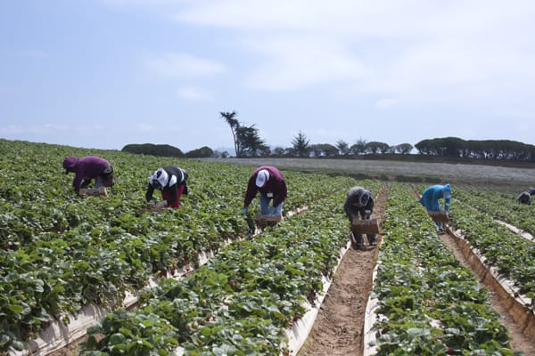 strawberry_field_workers