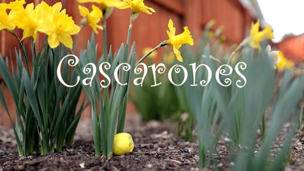 Cascarones daffodils