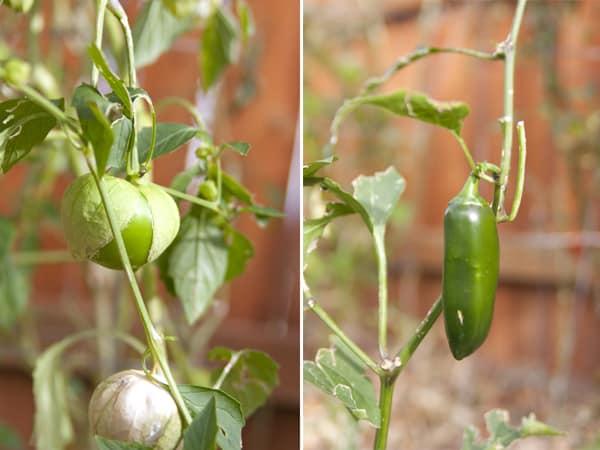 garden tomatillos jalapeno