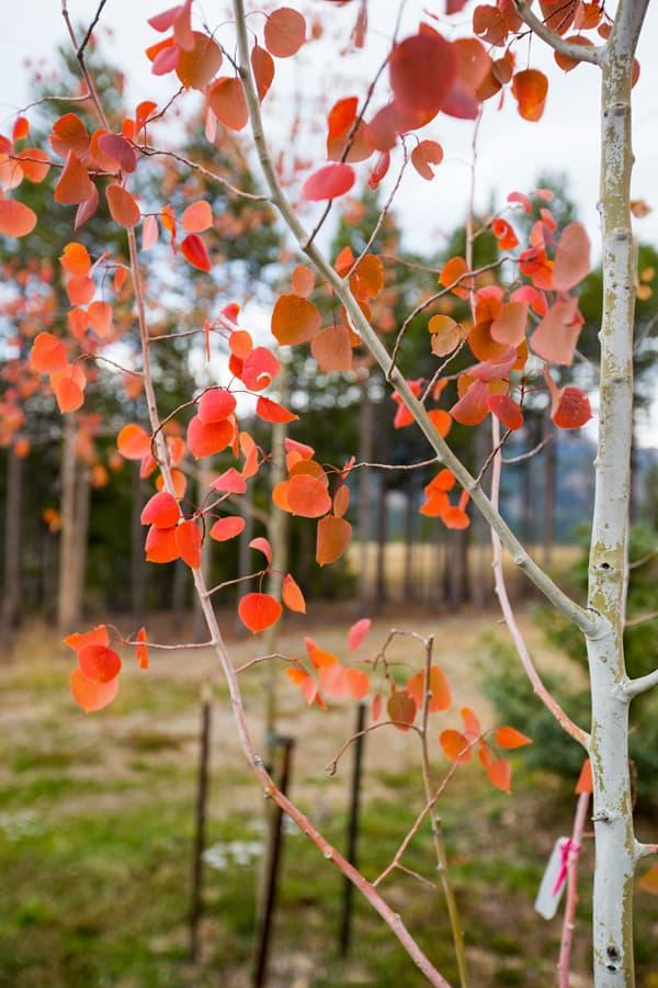aspen leaves fall autumn